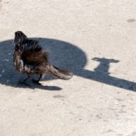 A little bird shaking water from its feathers after a bath in a puddle.
