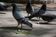 A flock of pigeons scurry around Rittenhouse Square while four photographers go nuts.