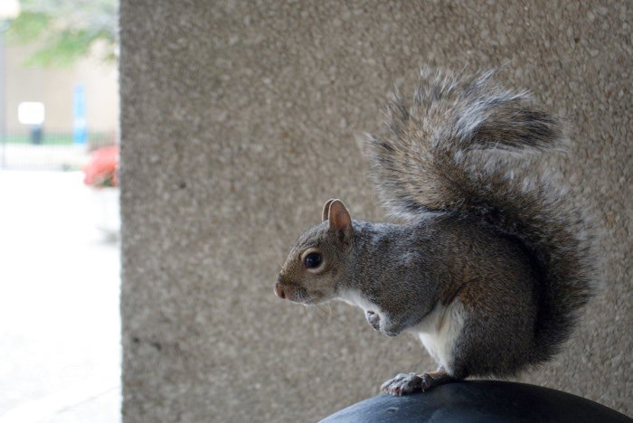 One of the thousands of insane squirrels that inhabit Temple University's Campus. They are in no respect afraid to get close to students.