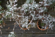 My dad's Bonsai plants are experiencing a phenomenon naturally foreign to them.
