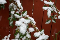 The rose bush can barely breathe under all that wet snow!