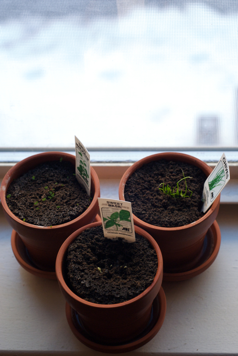 The Three Amigos: Sweet Marjoram, Sweet Basil, and not-so-sweet Chives.