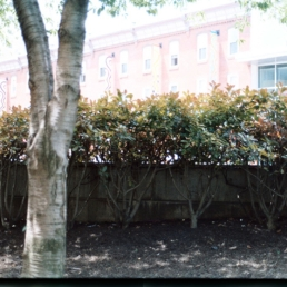Behind the bushes on Liacouras Walk.