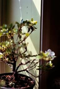 Kyle's bonsai, struggling indoors.
