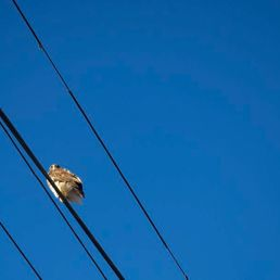 Incredibly large bird on a wire in Fishtown, Philadelphia.