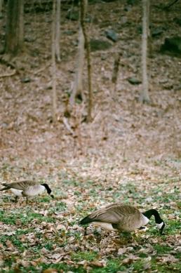 Goose, goose ... duck?