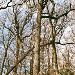 Tall tall trees.