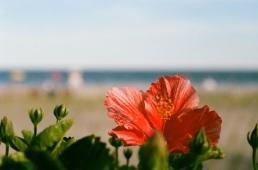Beautiful hibiscus at the beach.