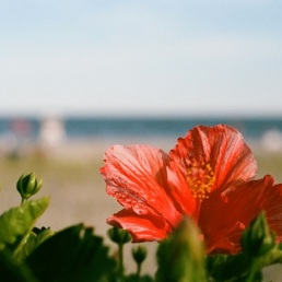 Beautiful hibiscus at the beach.