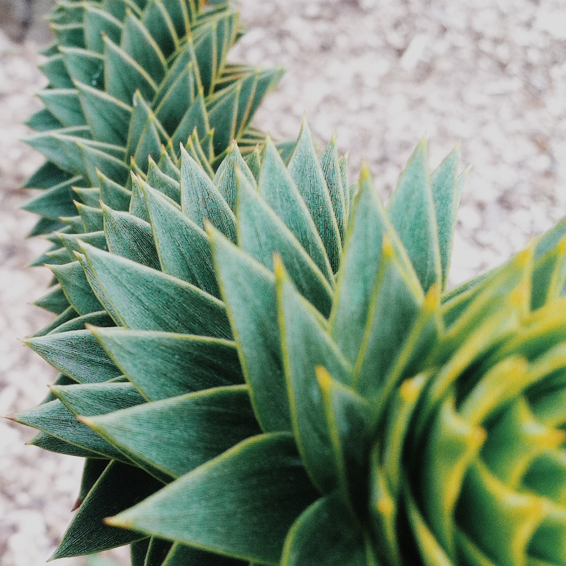 Detail of the Monkey Puzzle Tree.